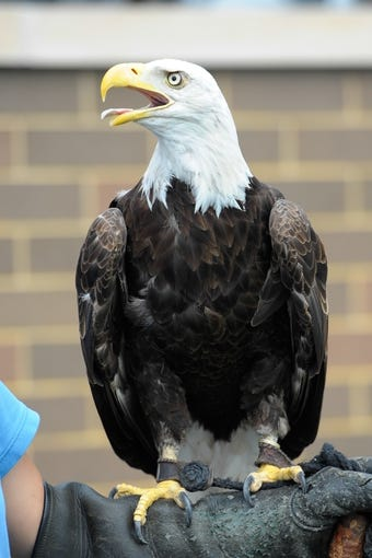 Aug 31, 2013; Boston, MA, USA; An eagle rests upon the trainers arm prior to a game between the Boston College Eagles and the Villanova Wildcats at Alumni Stadium. Mandatory Credit: Bob DeChiara-USA TODAY Sports
