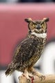 Nov 16, 2013; Philadelphia, PA, USA; The Temple Owls mascot Stella along the sidelines during the third quarter against the UCF Knights at Lincoln Financial Field. UCF defeated Temple 39-36. Mandatory Credit: Howard Smith-USA TODAY Sports